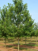 Trees Plus grows, sells and transplants trees that can provide instant shade.